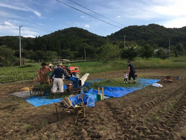 藍染をするための藍を収穫し、葉と茎を分ける作業
