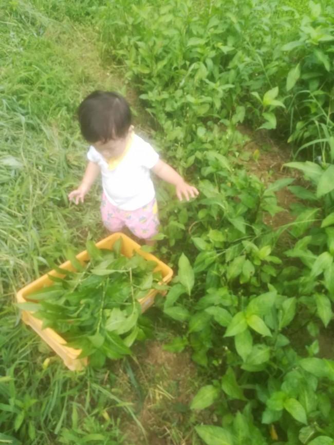 藍の葉を収穫する娘