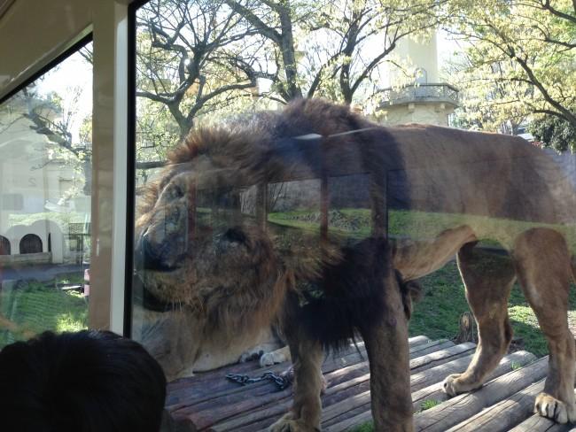 ライオンがこんなに間近に! こどもたちも大興奮です