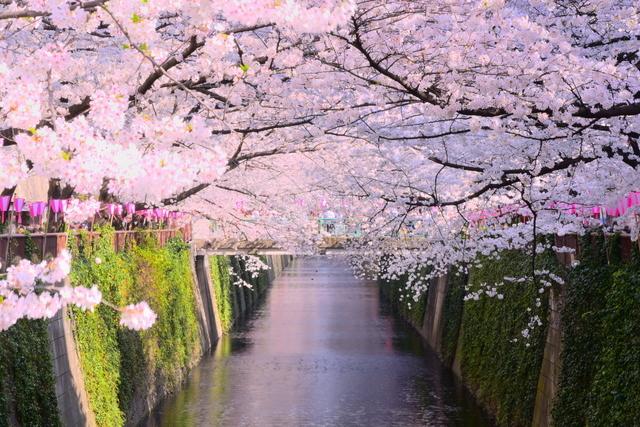 目黒川は、満開の桜も素敵ですが、散りはじめてからも素敵。川が桜色に染まります