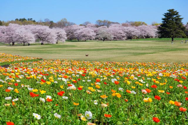 ポピーと桜のコントラストが◎。ひろ〜い公園のお花見で、春を感じてみては?